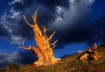 Leaning bristlecone and blue sky, White Mountains, California