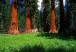 Mariposa Grove and historic cabin, Yosemite, California