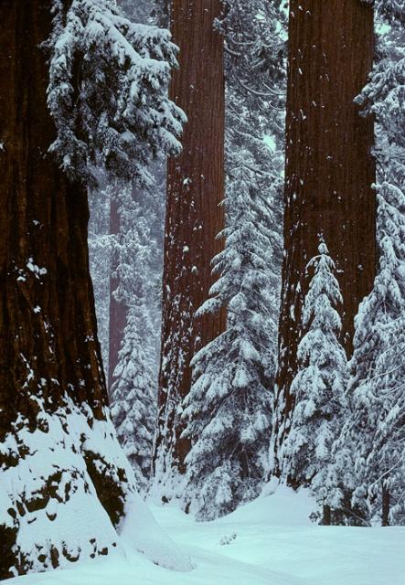 Mariposa Redwoods in Snow, Yosemite National Park, California