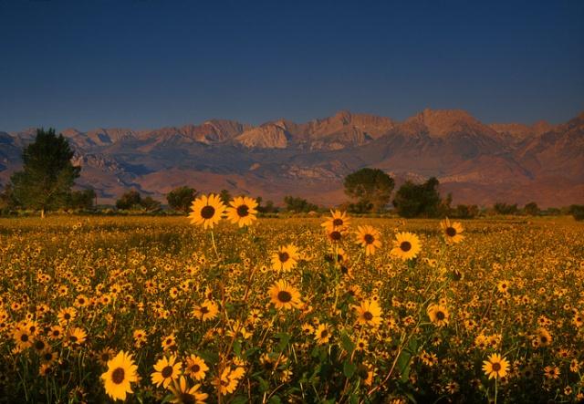 Morning light on sunflowers near Bishop, California