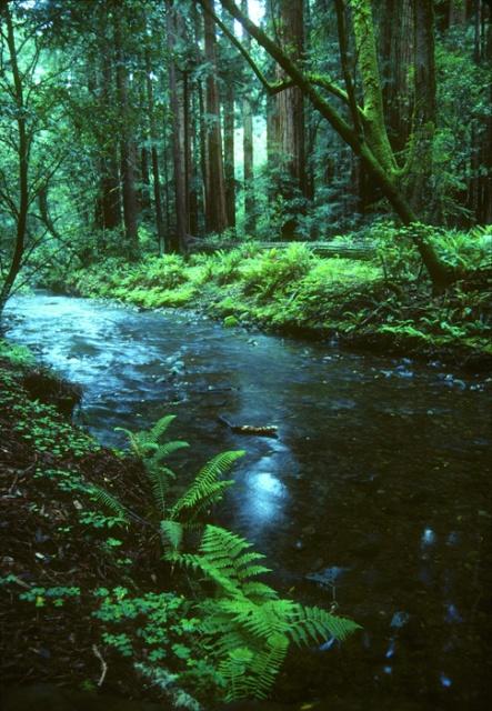 Redwood Creek Muir Woods California