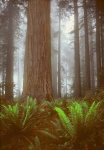 Costal Redwoods in Fog