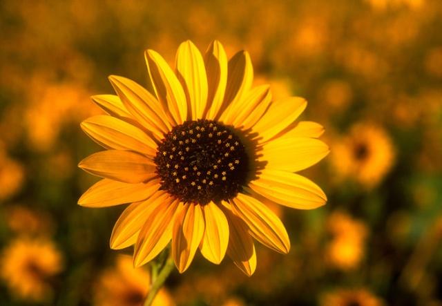 Sunflower in sun close-up near Bishop, California