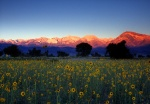 Sunrise on Sierras over field of sunflowers near Bishop, California