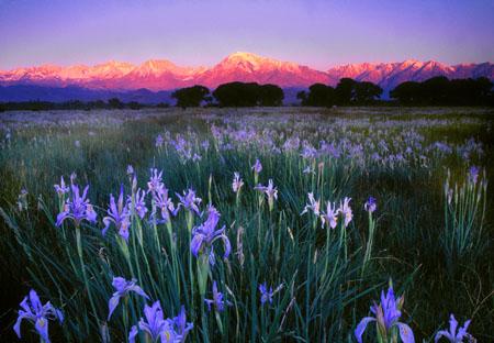 Field of wild irises Sierra Nevada Mountains Near Bishop, California