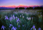 Field of wild irises