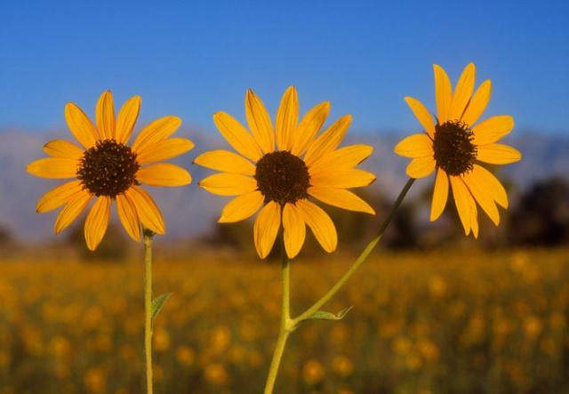 Three sunflowers, Eastern Sierra, California