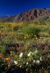 Spring flowers Coyote Mtn, Borrego Springs, California