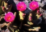 Pink cactus flowers, Death Valley California