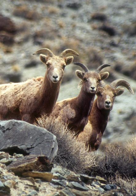 Desert Bighorn Sheep, White Mtns, California