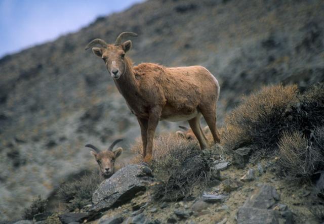 Desert Bighorn Sheep ewe, White Mountains, California