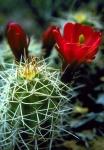 Hedgehog Cactus Fremont River Utah