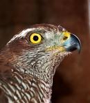 Hawk close-up, Budapest, Hungary