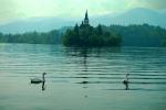Swans, Lake Bled, Slovenia