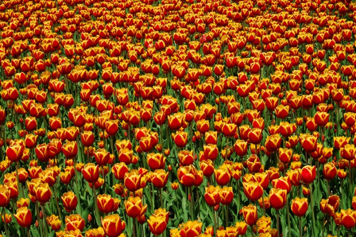 Field of Tulips, Lake Bled, Slovenia