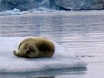 Bearded seal on ice, Spitzbergen