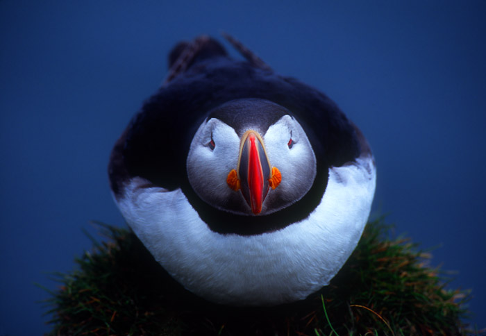 Puffin face-on, Latrabjarg Cliffs, Iceland
