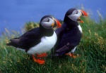Two Puffins, Latrabjarg Cliffs, Iceland