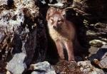 Arctic fox cub standing, Spitzbergen