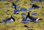 Barnicle Geese family, Spitzbergen