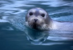 Bearded seal in water with reflection, Spitzbergen