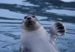 Bearded seal waving, Spitzbergen