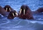 Curious Walruses in Water, Spitzbergen