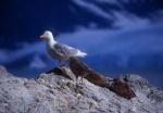 Gull and chicks, Sofiebogen, Spitzbergen