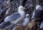 Kittiwake family, Sofiebogen bird cliffs, Spitzbergen
