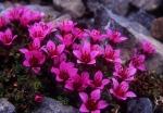 Purple Saxifrage close-up, Spitzbergen