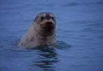 Ringed Seal, Recherchefjorden, Spitzbergen