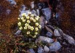 Yellow Saxifrage rock garden, Spitzbergen