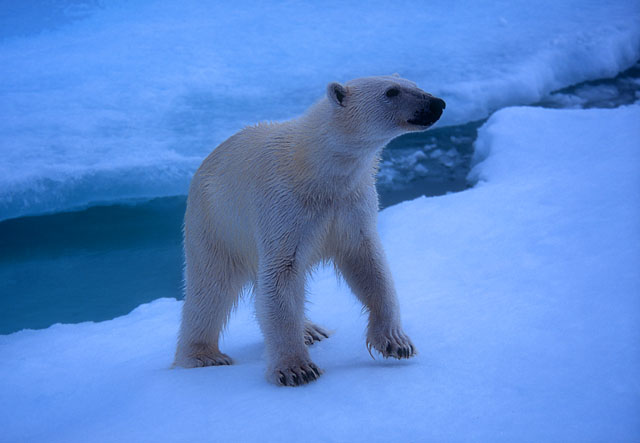 Young polar bear on the pack ice off Spitzbergen