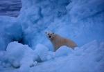 Polar bear amid iceburg, Spitzbergen