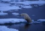 Polar bear climbing out of water, Spitzbergen