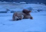 Rollin' in the snow! Polar bear on side, Spitzbergen