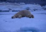 Polar bear prone, Spitzbergen