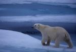 On Patrol: Polar bear walking on iceflow, Spitzbergen