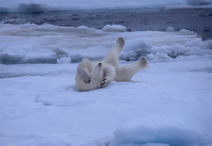 Looks silly but feels so GOOD! Polar bear with feet in air, Spitzbergen