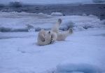Looks silly but feels so GOOD! Polar bear with feet in air, Spitzbergen