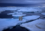 Polar bear on pack ice, wide angle, Spitzbergen