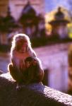 Temple Monkeys Katmandu, Nepal
