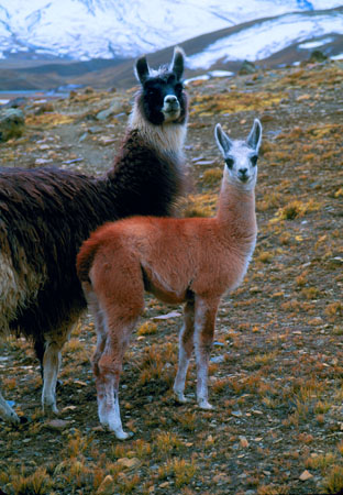 Llama and cria Milluni, Cordillera Real Bolivia