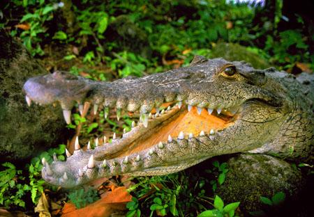 Crocodile Arenal, Costa Rica