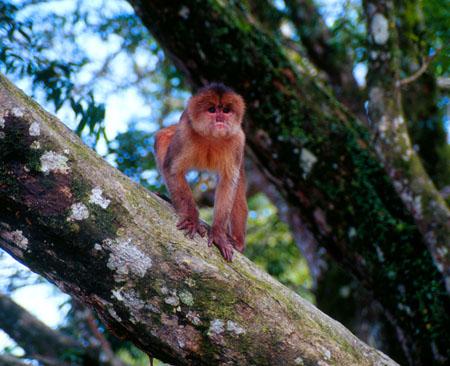 Monkey Misahualli Port on the Napo River Ecuador