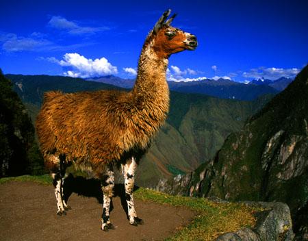 Llama Machu Picchu, Peru