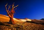 Bristlecone Pine above Patriarch Grove, White Mountains, California