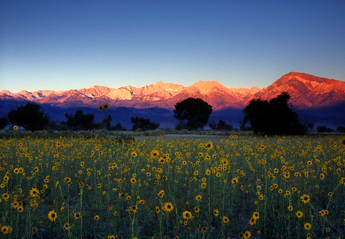 Sunrise on Sierras over field of sunflowers near Bishop, California