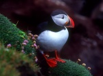 Puffin with flowers, Latrabjarg Cliffs, Iceland