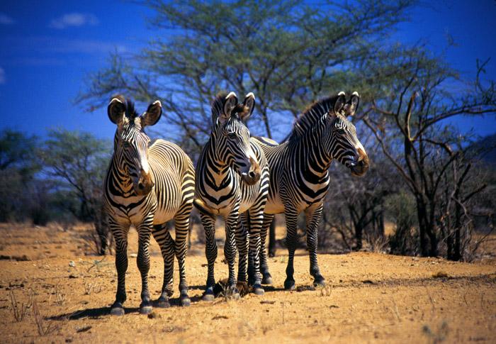 Grevy's Zebras, Samburu, Kenya